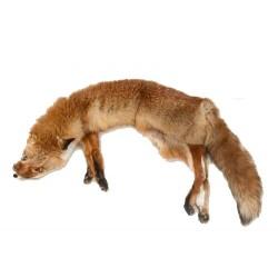 Aport dummy BRACCO liška